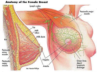 Female+breast+structure
